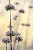 Phlomis russeliana, Phlomis, Brown subject
