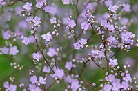 Gypsophila cultivar, Gypsophila, Purple subject.