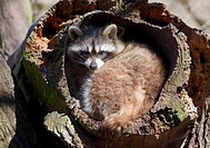 Raccoon (Procyon lotor) in a hollow tree trunk