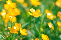 the yellow buttercup field closeup