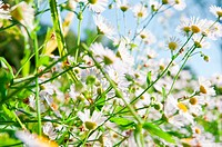 White chamomiles on summer meadow with blurred background