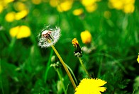 the only dry dandelion among green grass and blossoming flowers
