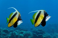 Pair of Red-Sea-Bannerfish (Heniochus intermedius) above coral reef, Hashemite Kingdom of Jordan, JK, Red Sea, Western Asia