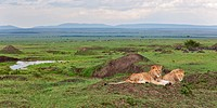 Two young adult male lions lying on green grassy mound in rain, with panorama view of Mara plains with wildebeest herd, Masai Mara, Kenya, East Africa