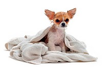 portrait of a wet purebred puppy chihuahua in front of white background