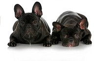 littermates _ two french bulldogs isolated on white background