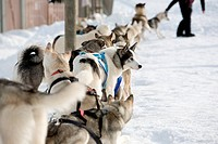 Husky sled_dogs getting ready for ride
