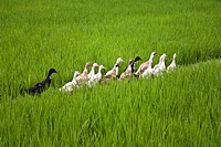 Balinese ducks walking through a rice field
