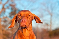 A close_up shot of a female Vizsla dog in winter.