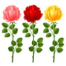 Three roses on a white background
