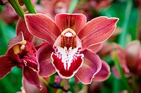 A 'corsage orchid, ' aka 'Lupe's Coffee' flower