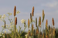 Meadow with Timothy Grass (Phleum pratense)