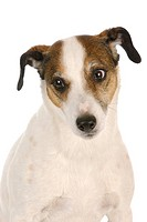 dog with cute expression _ jack russel terrier on white background
