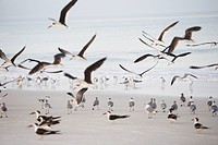 Flock of terns on the beach