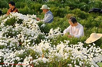 Talking Chinese workers picking chrysanthemum flowers for tea in Huangshan China