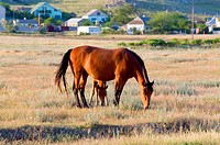 Horse with small foal in preirie pasture near Kazantip reserve, Crimea, Ukraine.