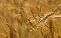 closeup of barley field with ripe ears in sunny summer day