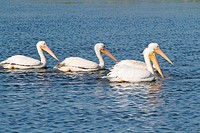 American White Pelicans Pelecanus erythrorhynchos in the Florida Everglades