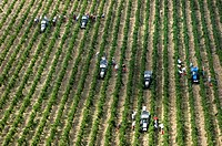 Grapes being harvested in a large team Castello Brolio, Tuscany