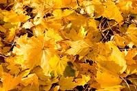 Close up of yellow Norway Maple autumn leaves fallen to the ground.