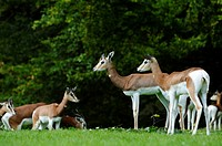 Mhorr Gazelles Nanger dama mhorr in meadow