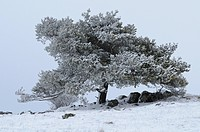 Scots Pine Pinus sylvestris in winter landscape