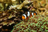 Ocellaris Clownfish Amphiprion ocellaris