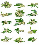 A set of pictures of green almonds isolated on a white background.