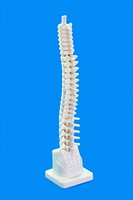 Anatomy modell from a human backbone on blue background