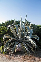 Agave on the waterfront promenade near Son Xoriguer beach on Menorca, Spain, Europe