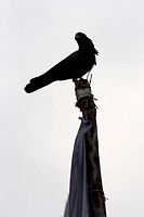 Jungle crow at the top of prayer flag post, Everest region, Himalaya, Nepal
