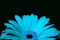 Beautiful red daisy gerbera flower with petals, isolated.