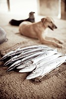 Fresh Whole Barracudas, Dogs