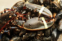 Fresh Irish lobster on mussels
