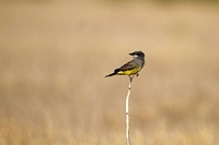 Cassin´s Kingbird perches on a grass stalk in the Texas Panhandle