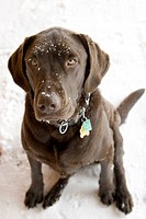 A close up on the head of a sitting chocolate Labrador Retriever that has snow flakes sprinkled about his head and snout in natural side lighting.