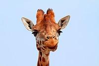 Giraffe looking into camera over blue sky