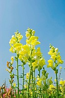 Yellow flowers in the field under blue sky, sunny day, Snapdragon