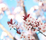 Blossoming Plum Tree in the Spring
