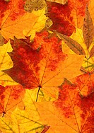 background of colorful maple leafs