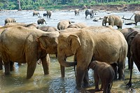 Elephants from the Pinnewala Elephant Orphanage enjoy their daily bath at the local river.