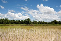 Rice field in Asia, Thailand, panorama with daylight