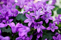 Close_Up of violet colored Campanula Bellflowers