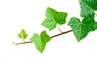 An ivy plant against a white background. Room for your text.