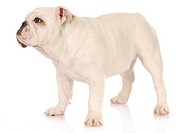 cute puppy _ english bulldog puppy standing on white background _ 5 months