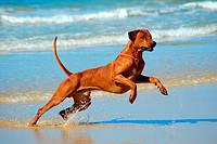 Full body of a jumping thoroughbred male Rhodesian Ridgeback hound dog in the water of a beach outdoors