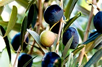 Black olives on tree in Fethiye, Turkey
