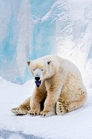 Tired polar bear sitting on the snow and yawning