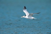 A Royal Tern, Sterna maxima, flying over a body of water