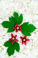 Guelder rose and columbine blossoms _ background